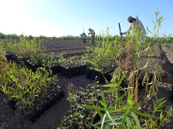"""""""Restaurazione"""" di flora nativa nel delta"""